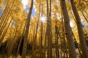 Een foto van espenbomen met de zon als een zonnestraal